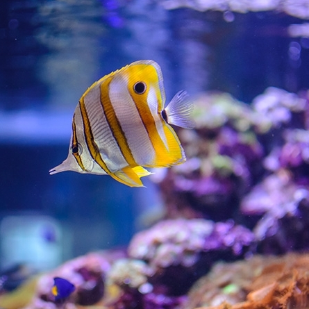 Picture of tropical fish swimming in a tank